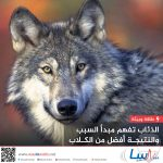 صور ذئب خلفيات و معلومات كاملة عن الذئاب 25