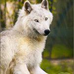 صور ذئب خلفيات و معلومات كاملة عن الذئاب 26