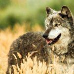صور ذئب خلفيات و معلومات كاملة عن الذئاب 27