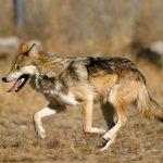 صور ذئب خلفيات و معلومات كاملة عن الذئاب 29