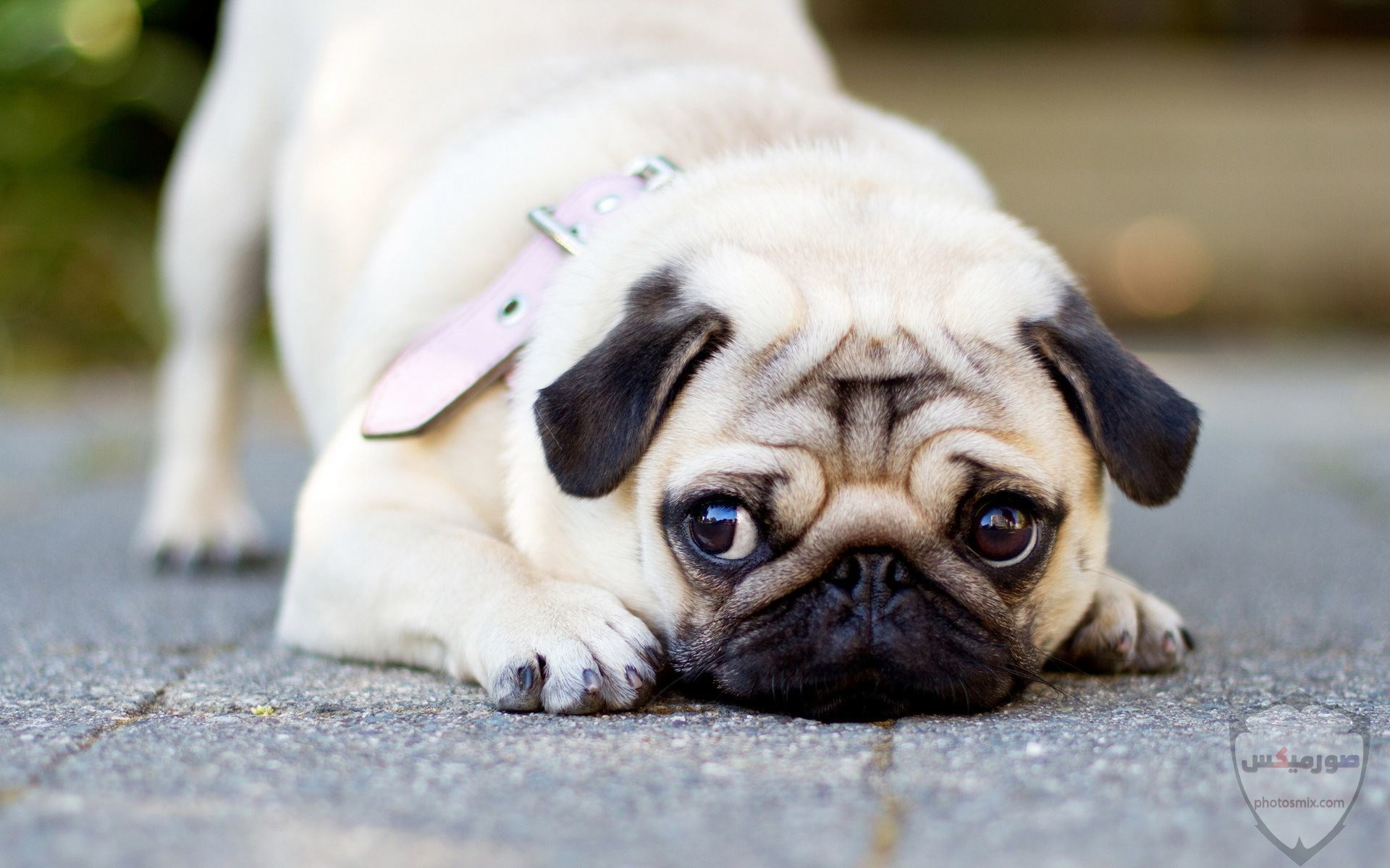 صور رمزيات خلفيات كلاب كيوت صورة كلب كيوت جدا 13