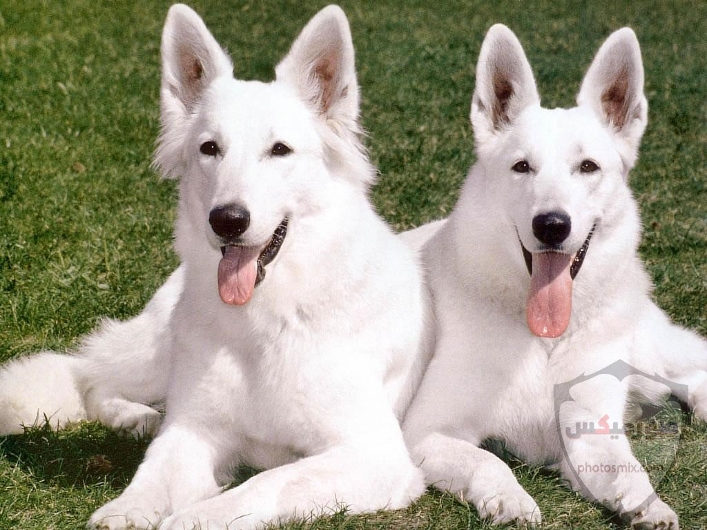 صور رمزيات خلفيات كلاب كيوت صورة كلب كيوت جدا 34