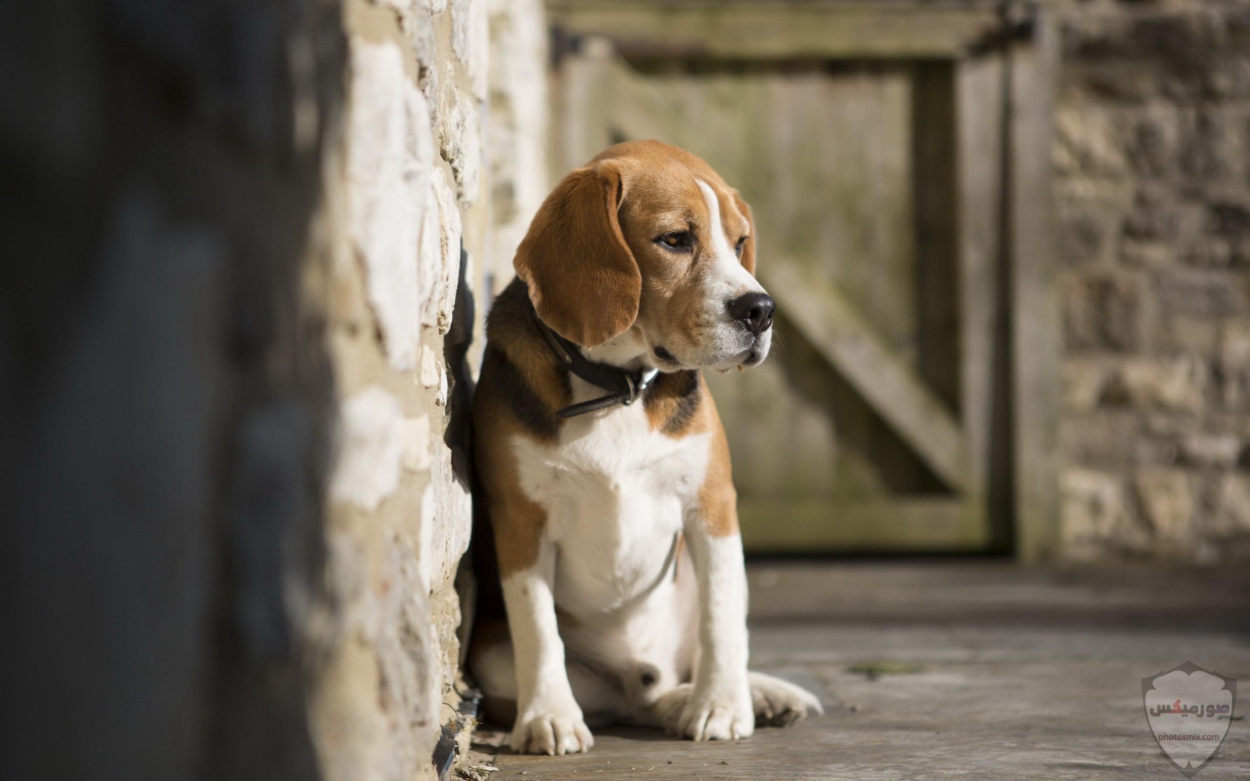 صور رمزيات خلفيات كلاب كيوت صورة كلب كيوت جدا 55