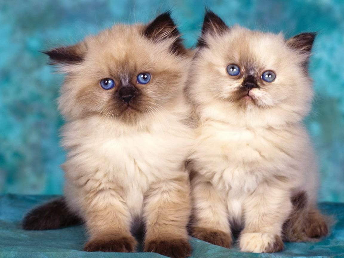 خلفيات قطط كيوت جدا 7