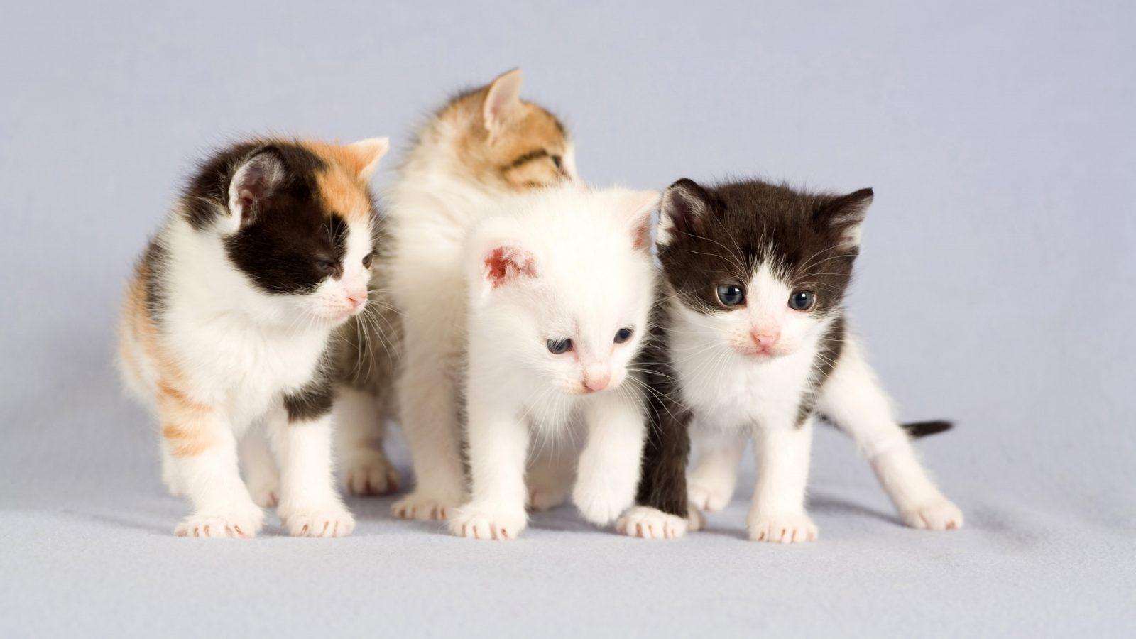 صور انواع قطط مختلفة ومعلومات عن حياة القطط 10