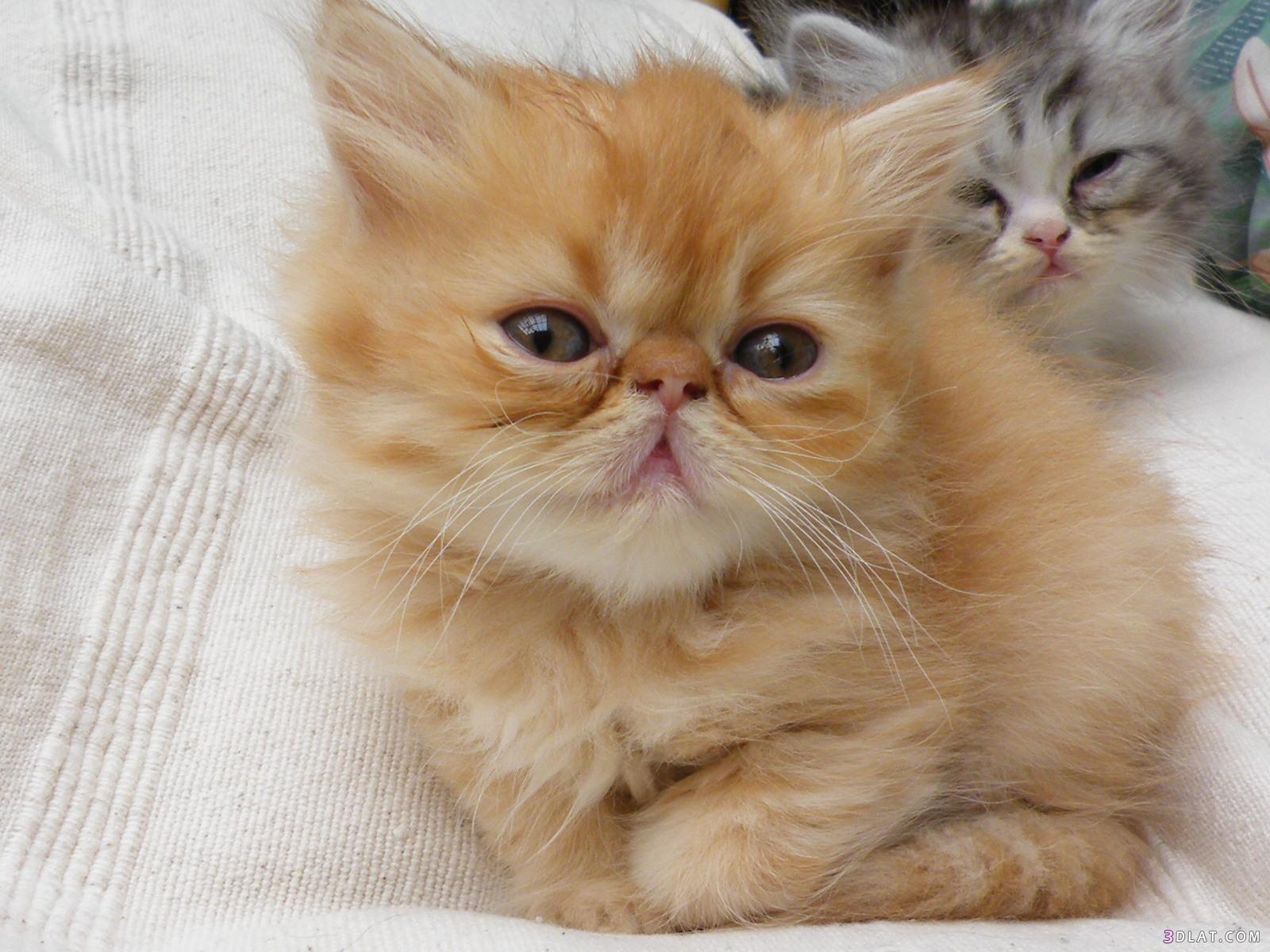 صور انواع قطط مختلفة ومعلومات عن حياة القطط 11
