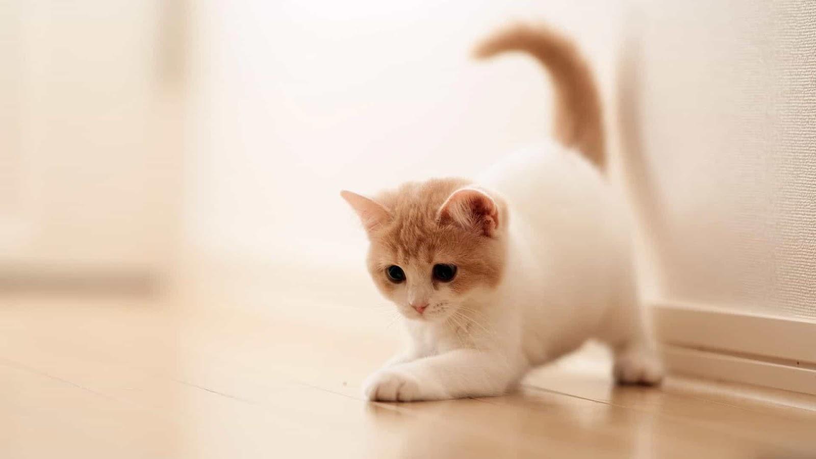 صور انواع قطط مختلفة ومعلومات عن حياة القطط 13