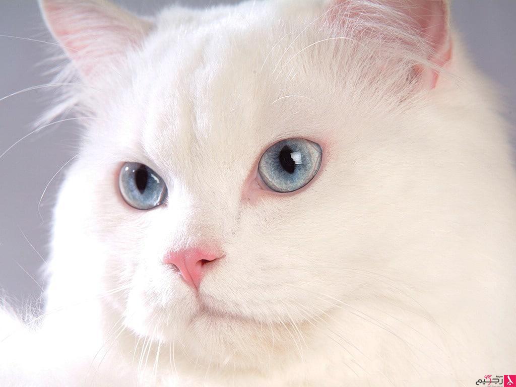صور انواع قطط مختلفة ومعلومات عن حياة القطط 18