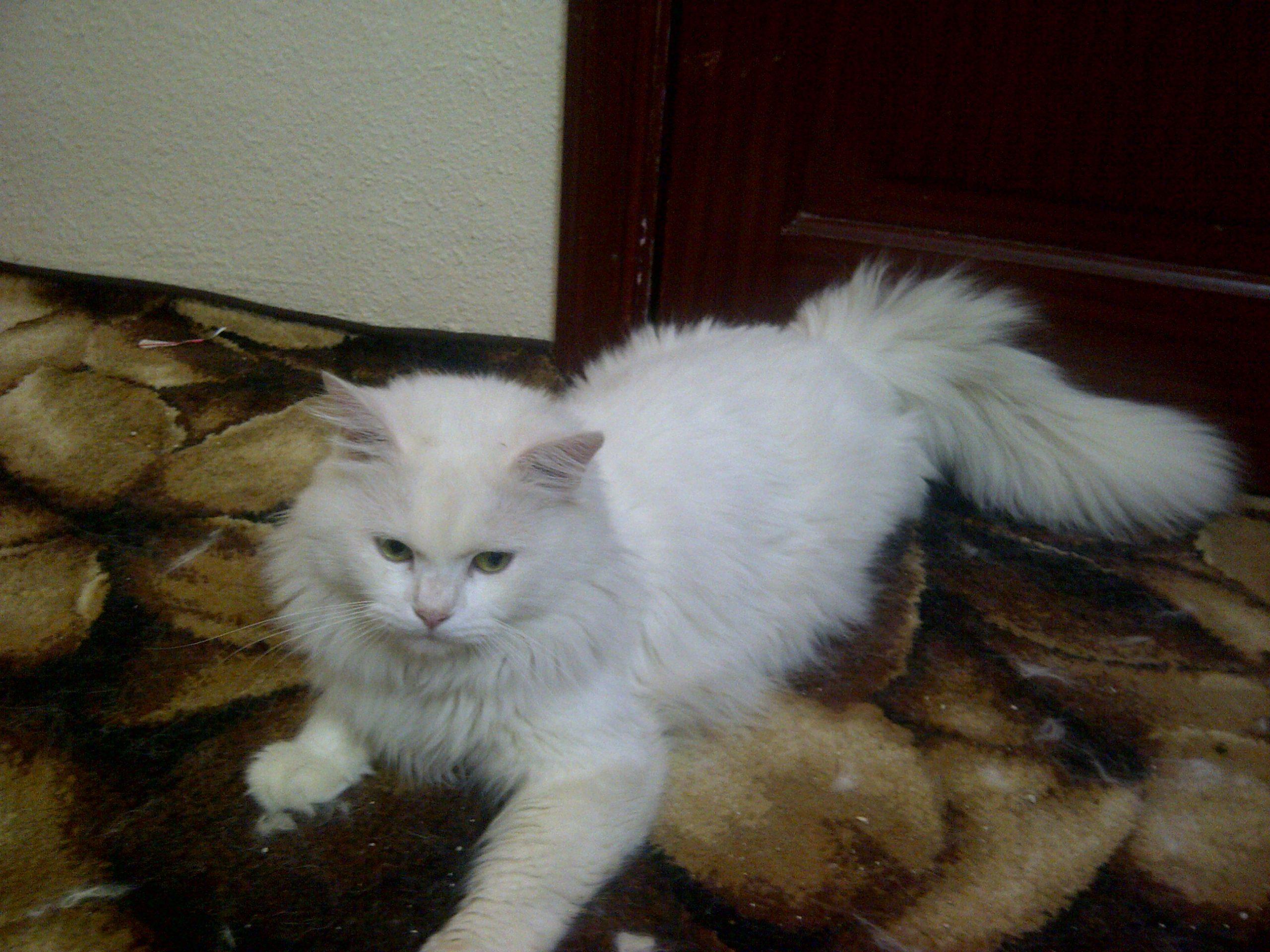 صور انواع قطط مختلفة ومعلومات عن حياة القطط 4