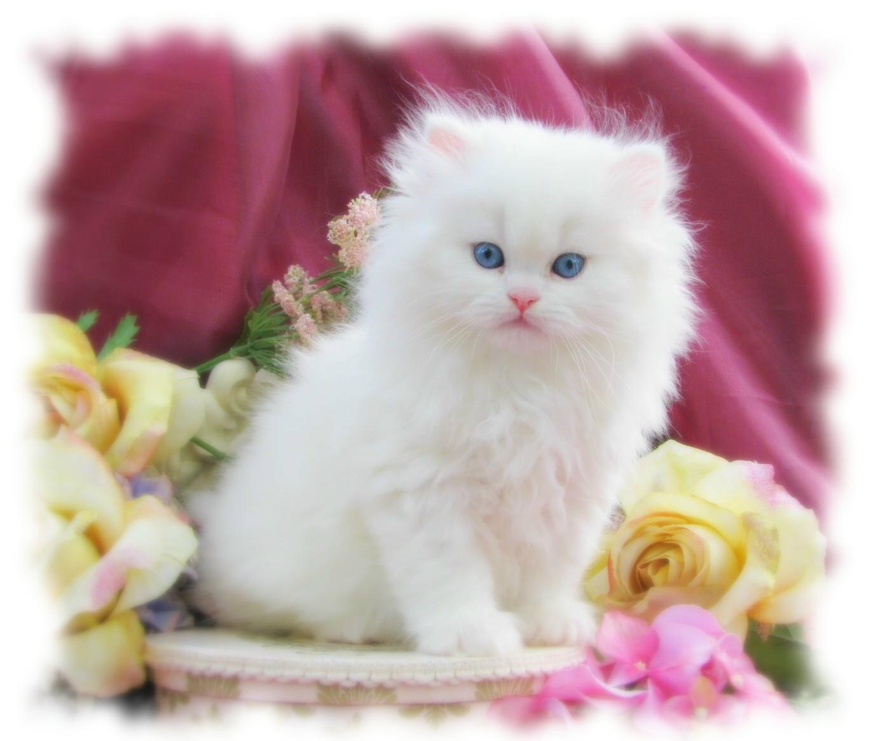 صور انواع قطط مختلفة ومعلومات عن حياة القطط 6