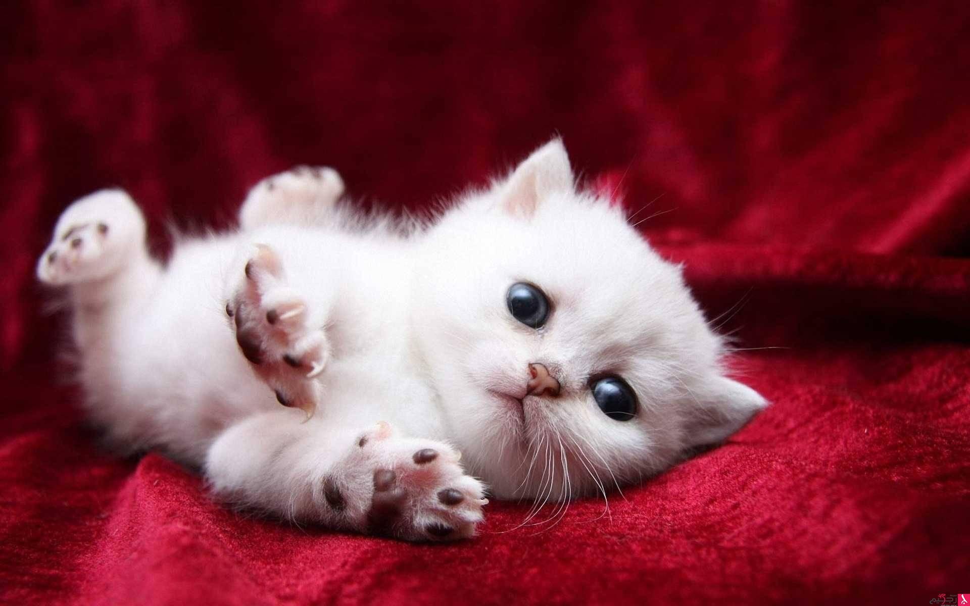 صور انواع قطط مختلفة ومعلومات عن حياة القطط 7