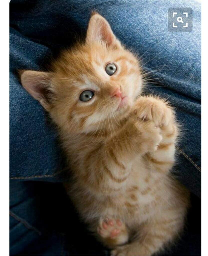 صور انواع قطط مختلفة ومعلومات عن حياة القطط 8