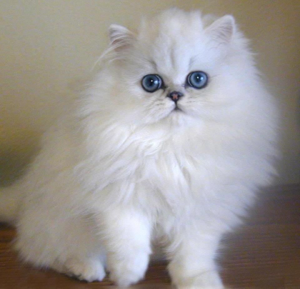 صور انواع قطط مختلفة ومعلومات عن حياة القطط 9