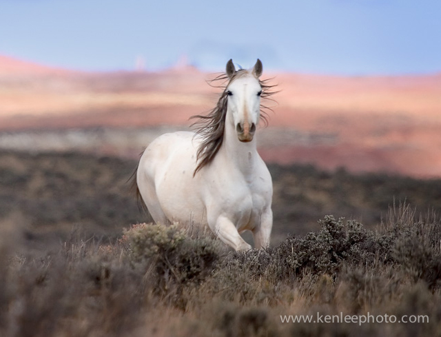 حصان ابيض 11
