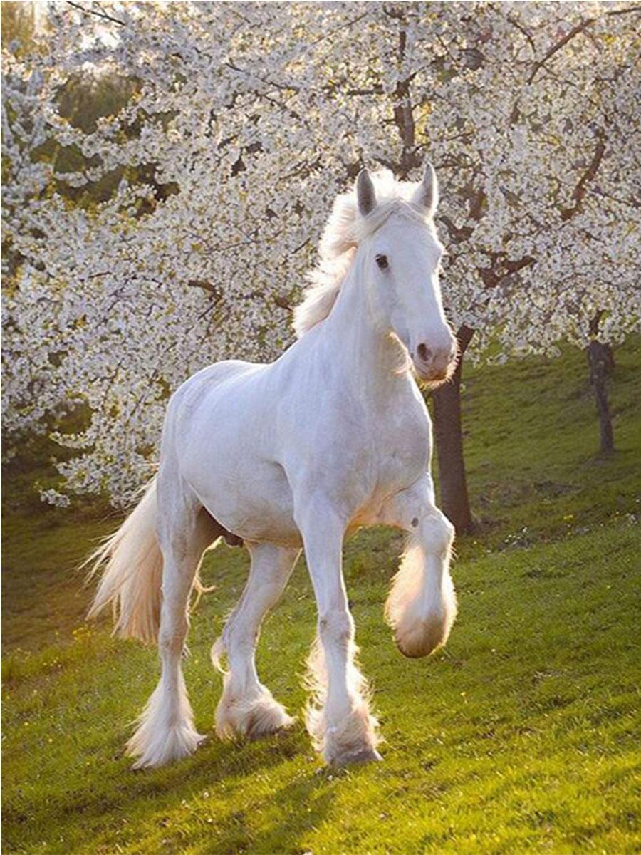 حصان ابيض 15