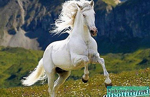 حصان ابيض 17