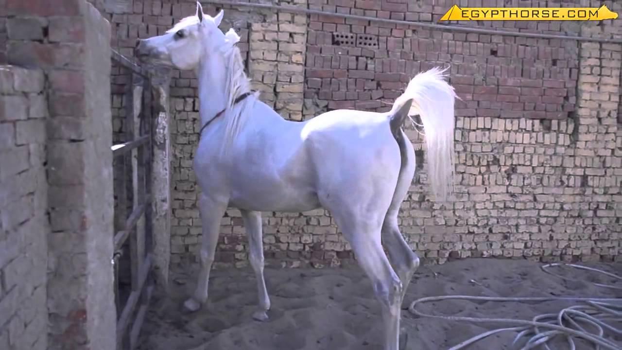 حصان ابيض 18