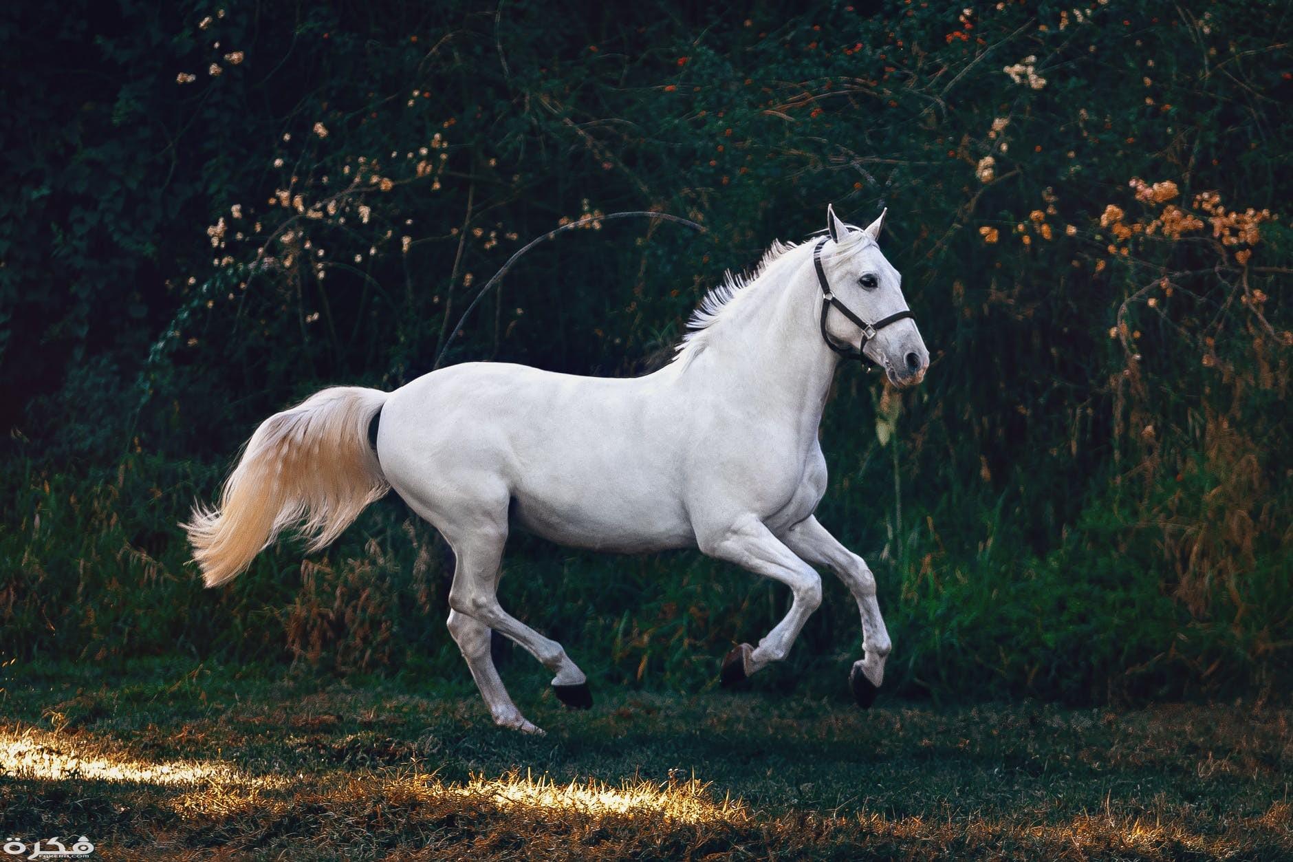 حصان ابيض 2