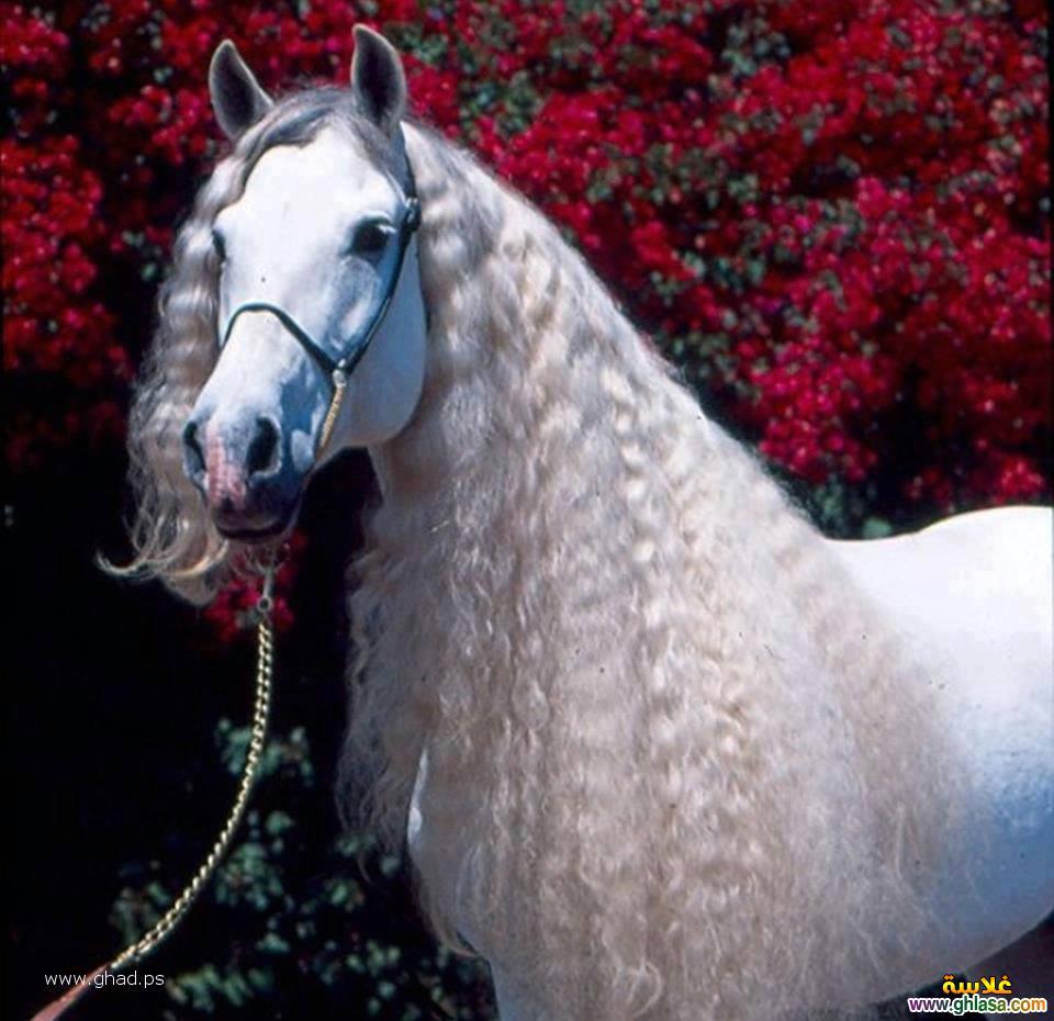 حصان ابيض 20