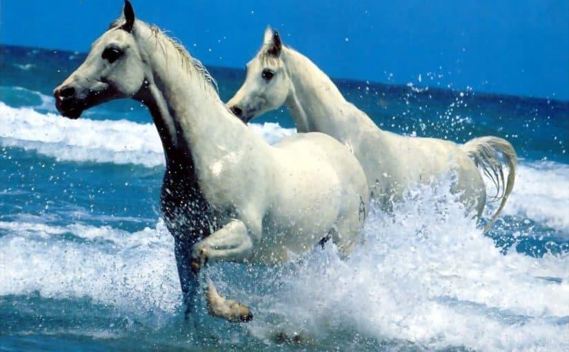 حصان ابيض 23