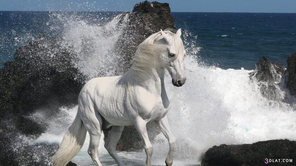 حصان ابيض 25