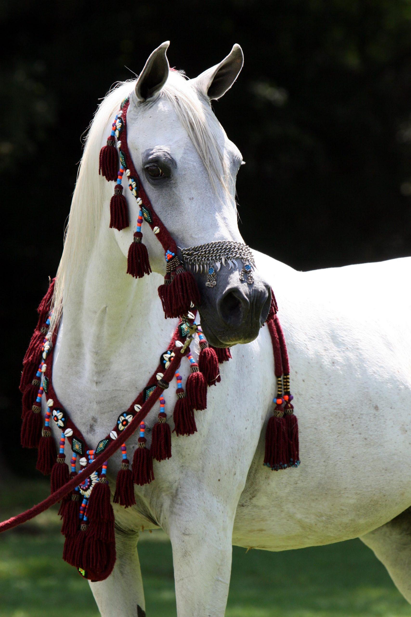 حصان ابيض 3