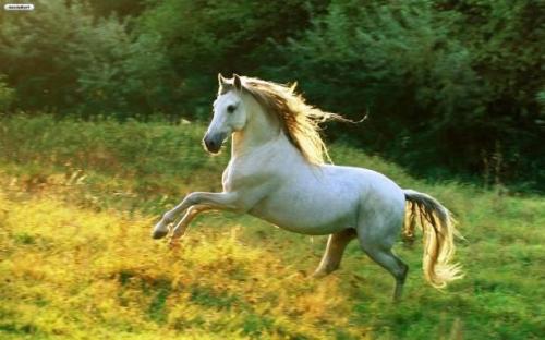 حصان ابيض 31