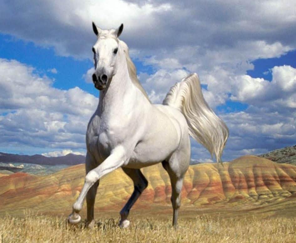 حصان ابيض 34