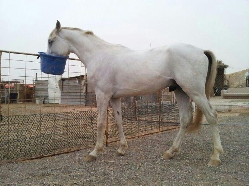 حصان ابيض 39