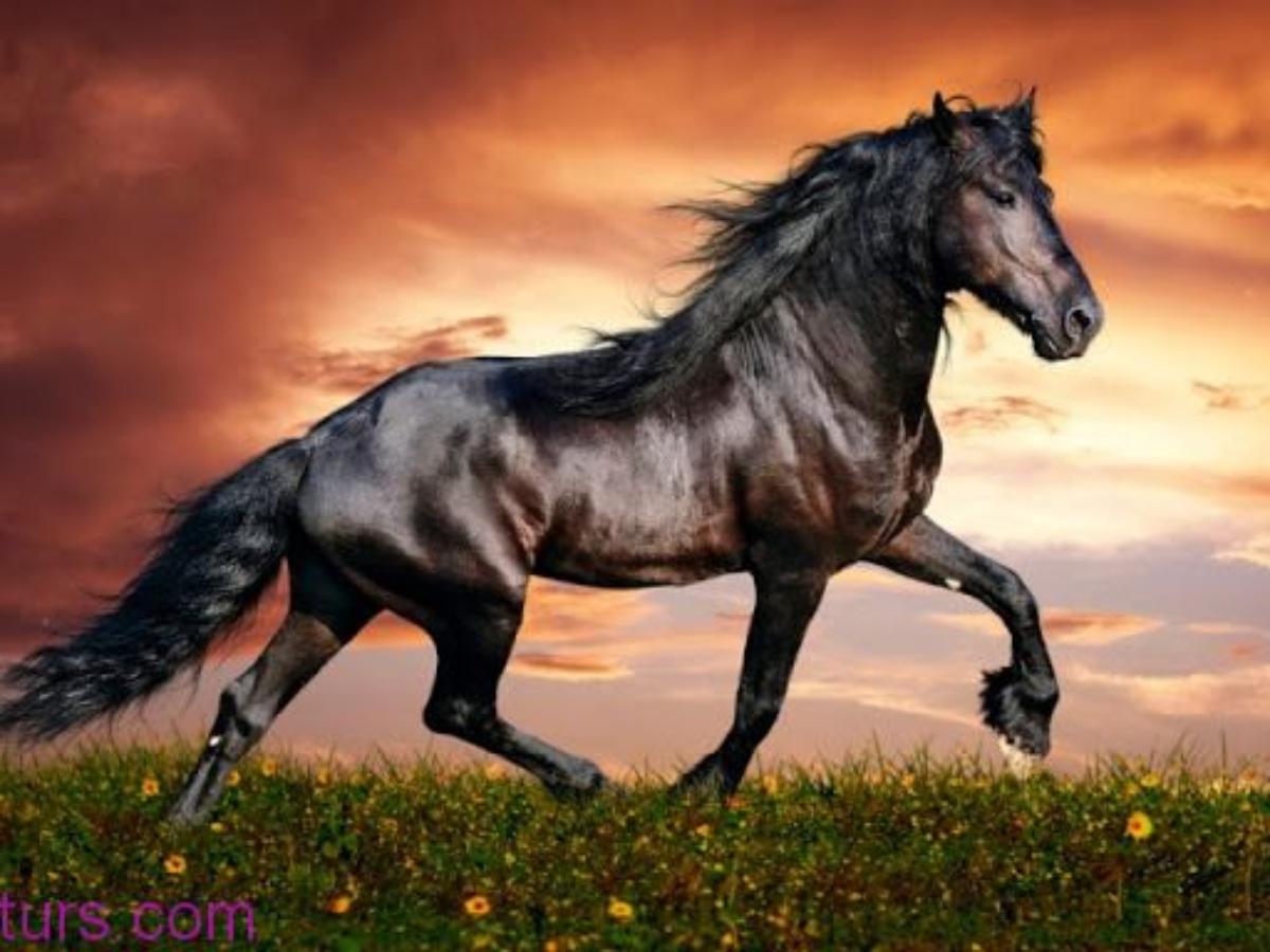 حصان ابيض 4