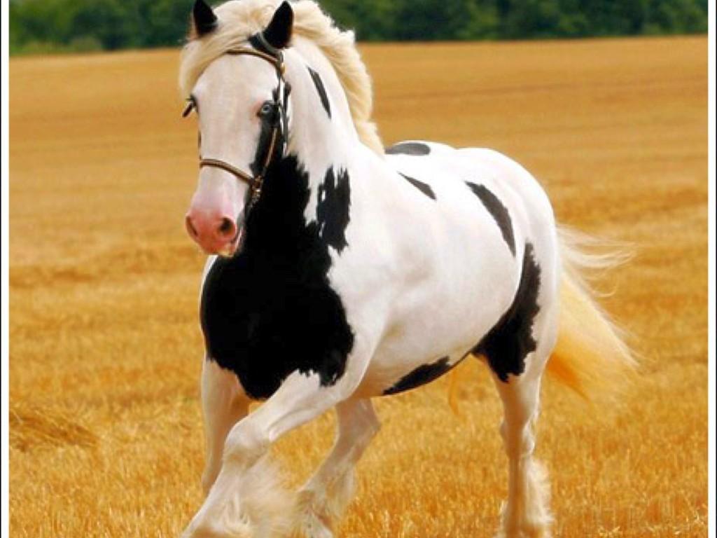 حصان ابيض 7