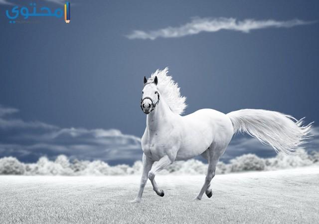 حصان ابيض 8