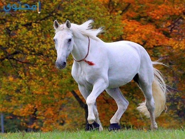 حصان ابيض 9