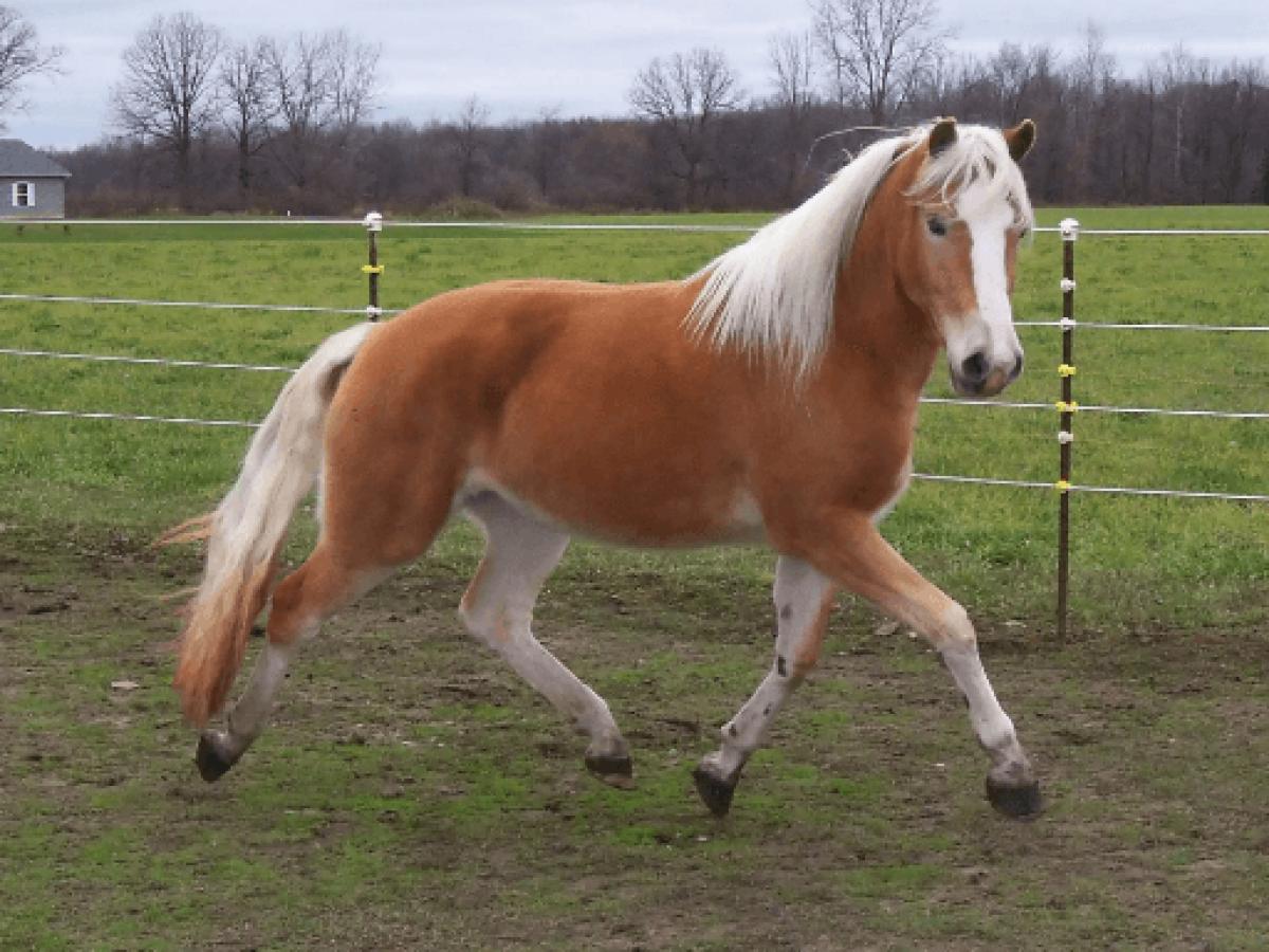 حصان اسود 1