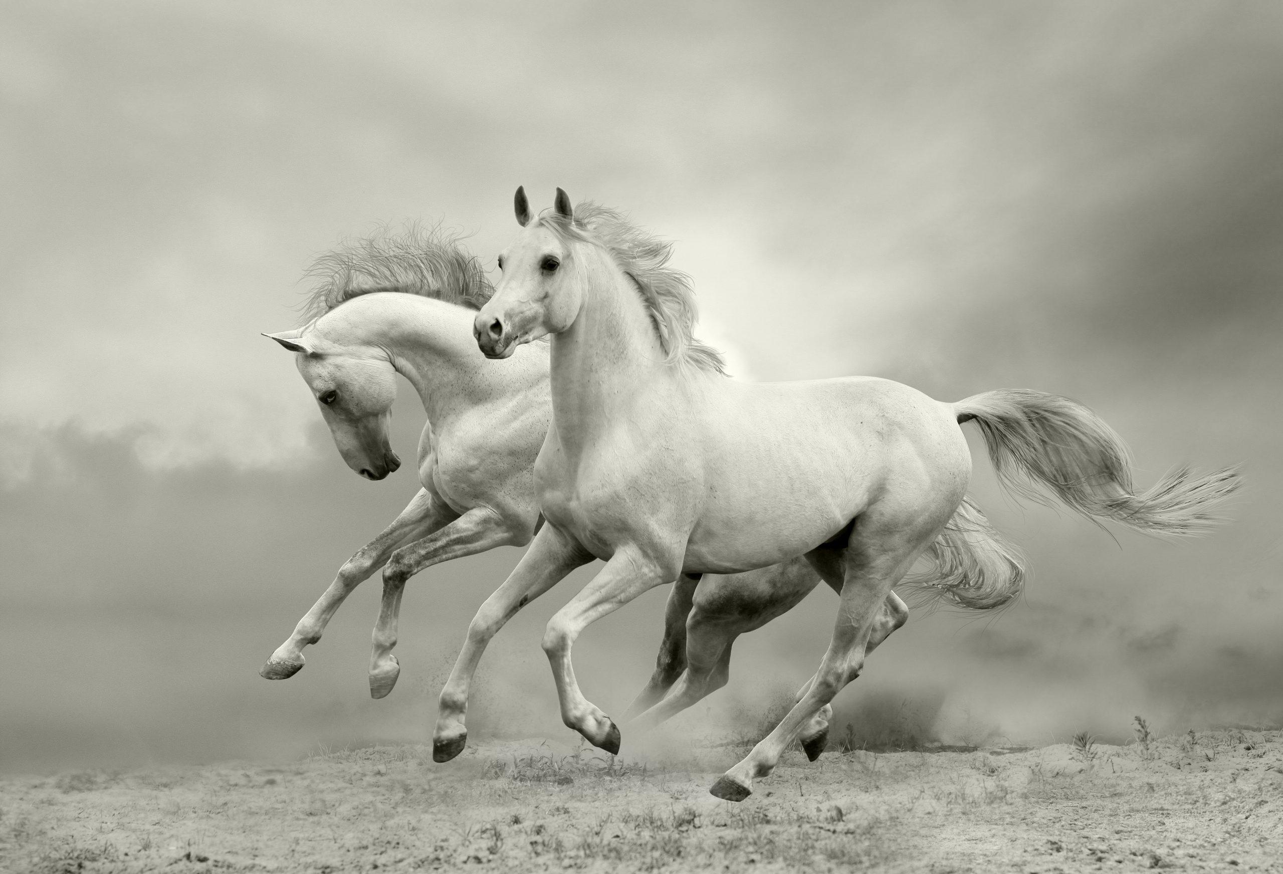 حصان اسود 12