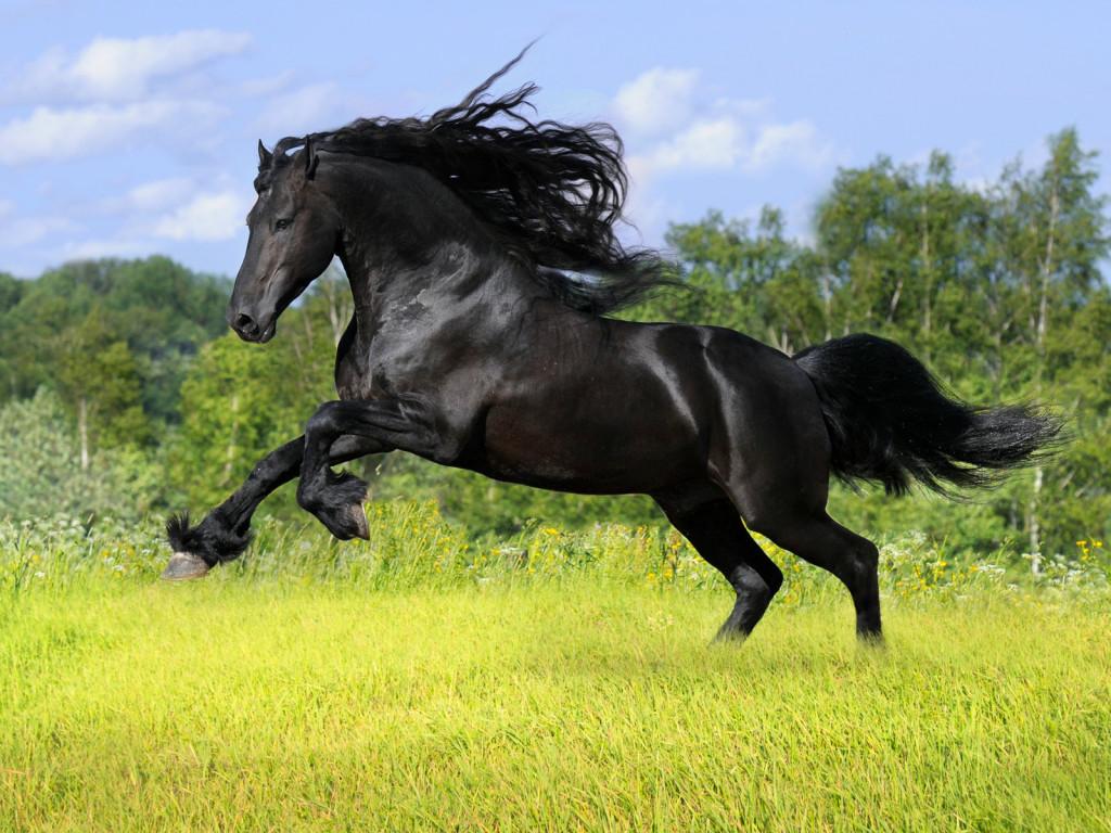 حصان اسود 15