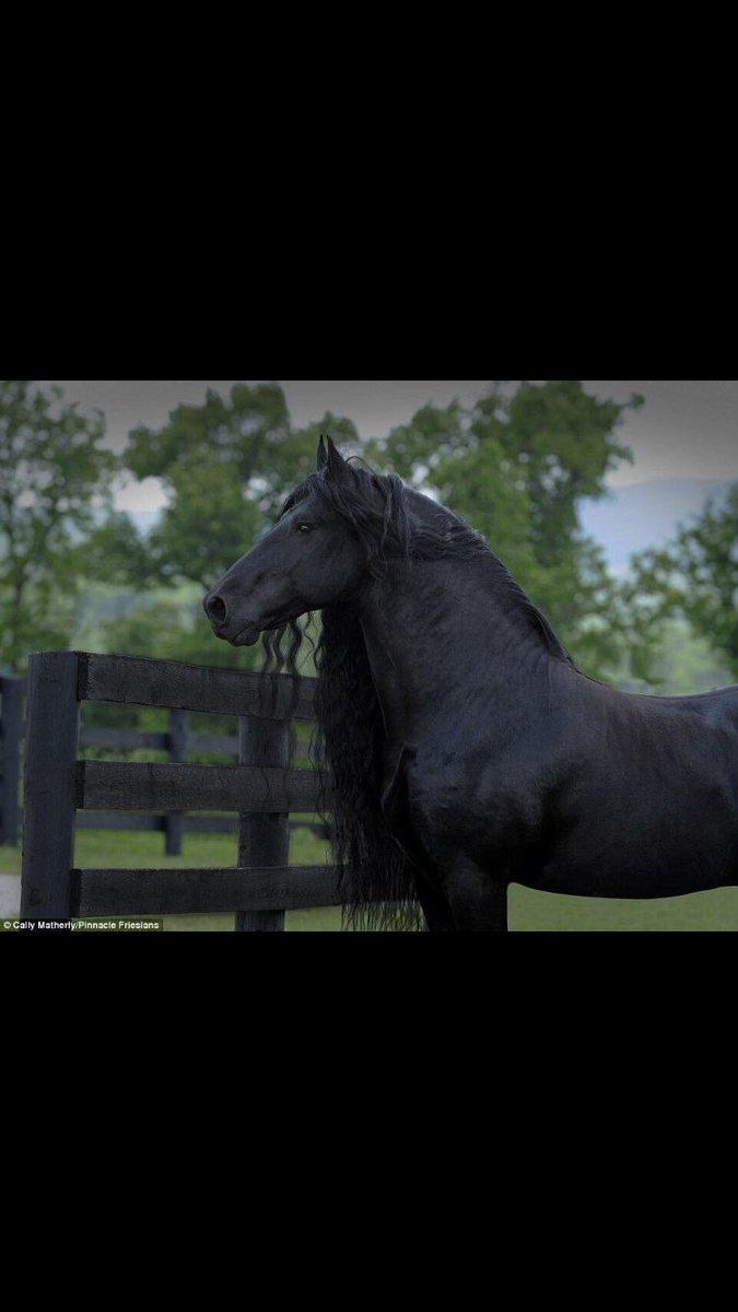 حصان اسود 18