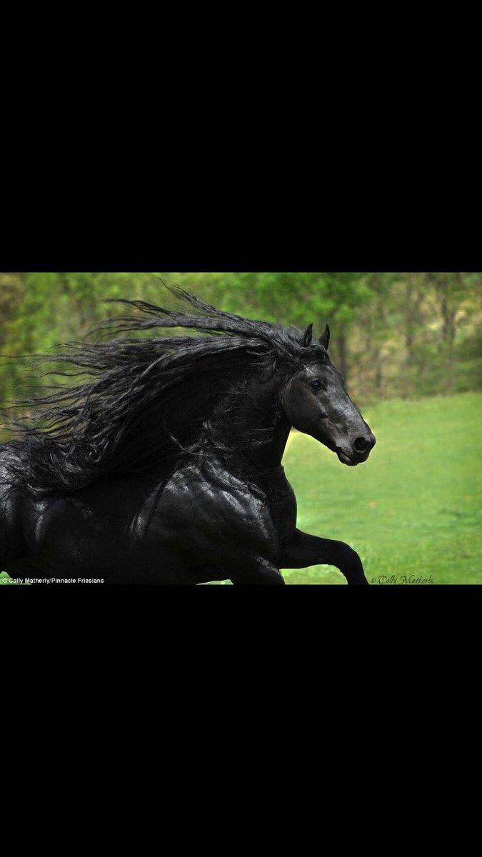 حصان اسود 19