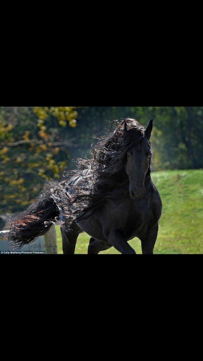 حصان اسود 20