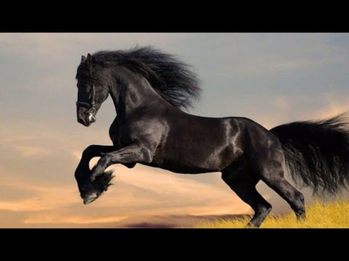 حصان اسود 23