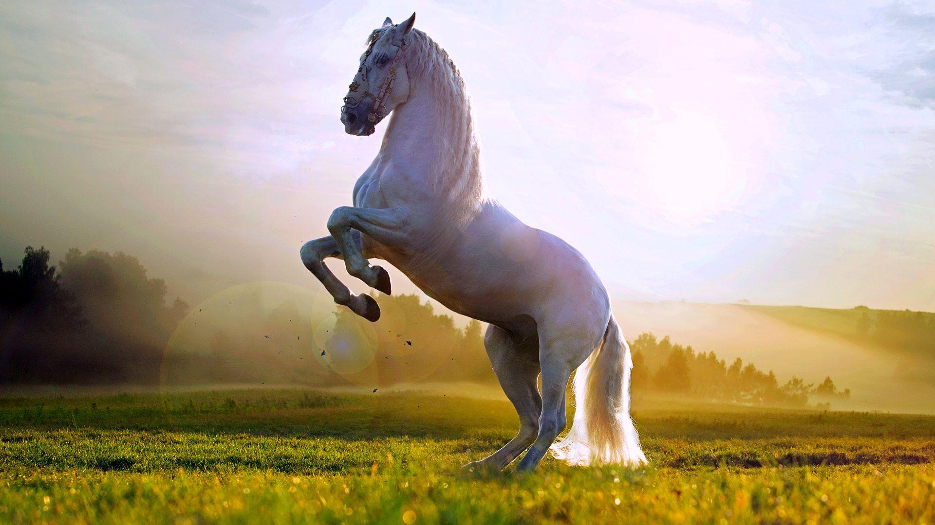 حصان اسود 25