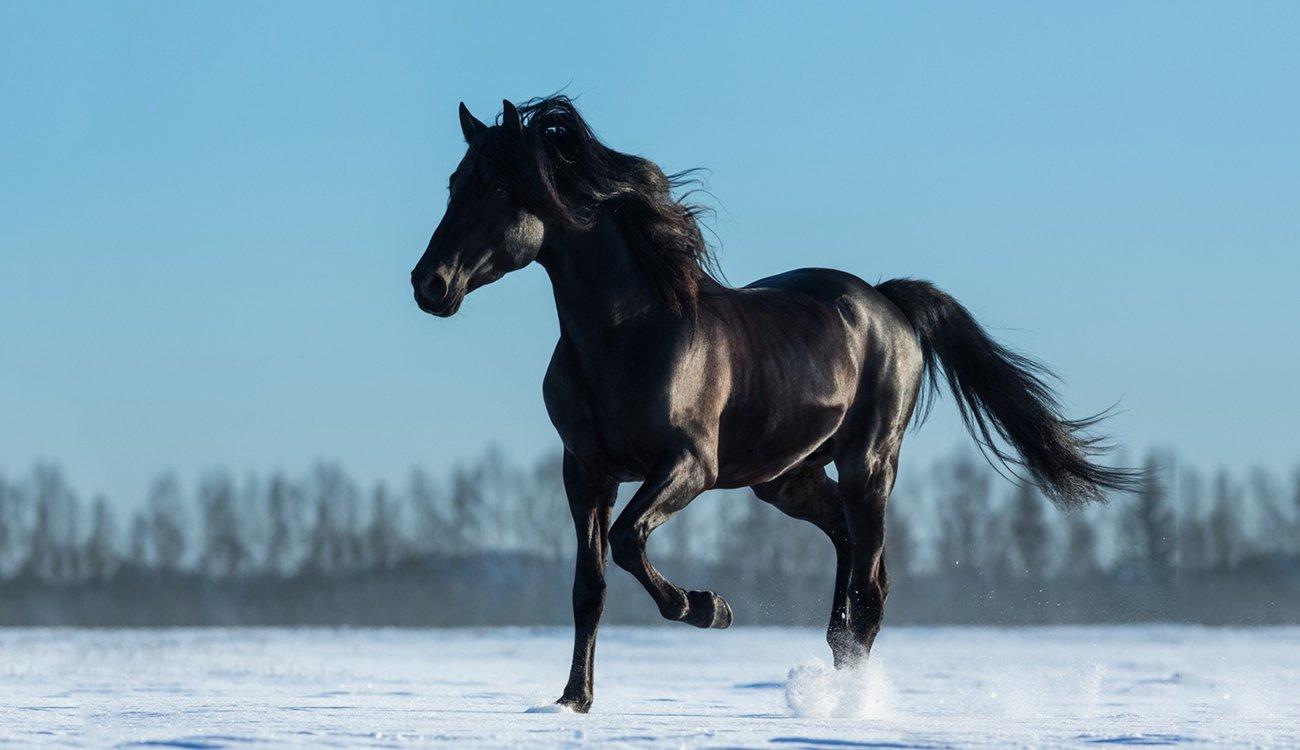 حصان اسود 26