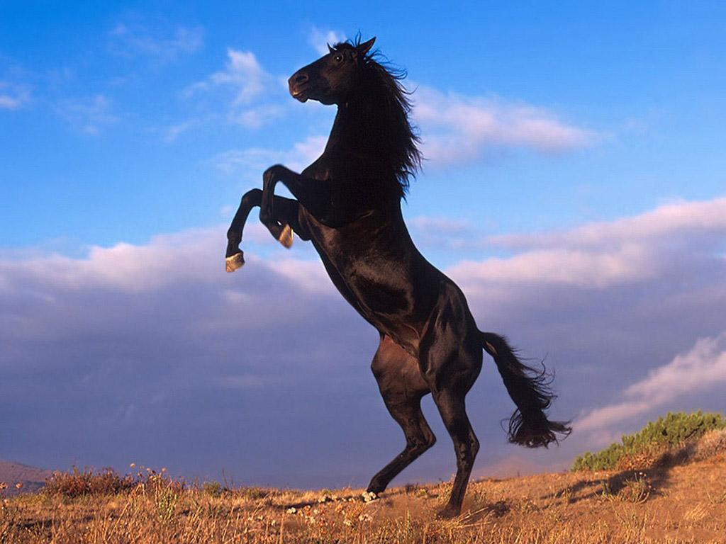حصان اسود 27