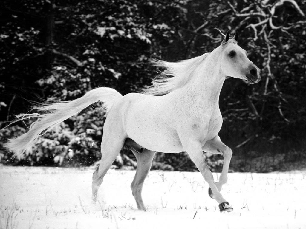 حصان اسود 28