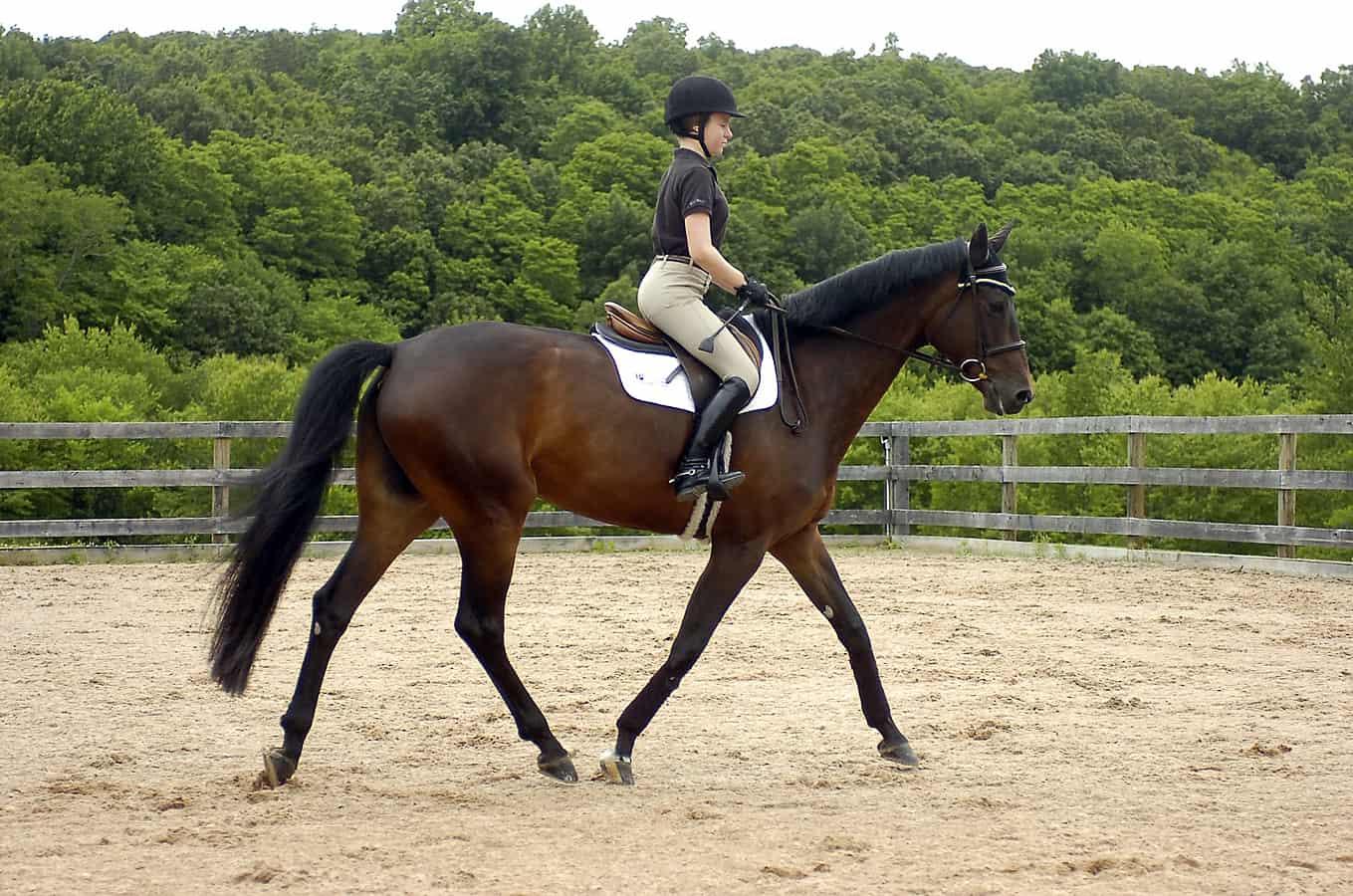 حصان اسود 29