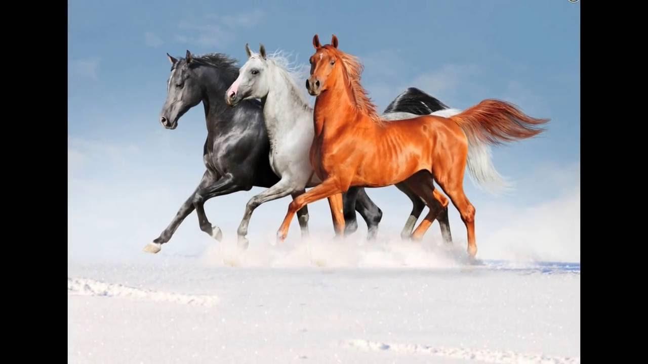 حصان اسود 3