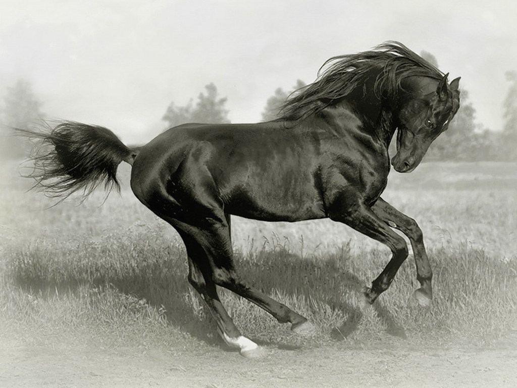 حصان اسود 31