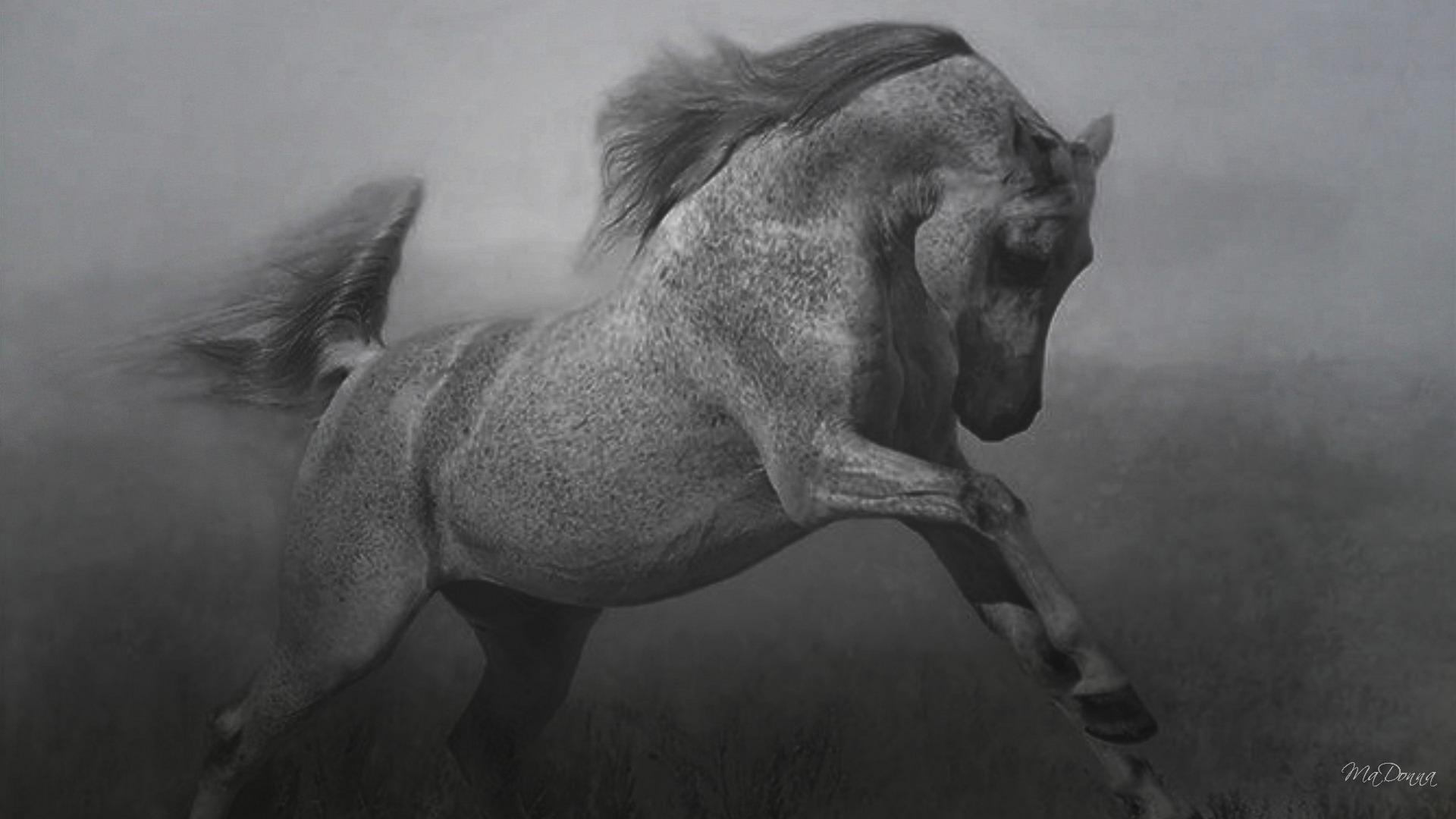 حصان اسود 40