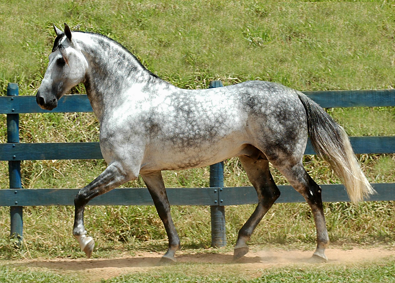 حصان اسود 45