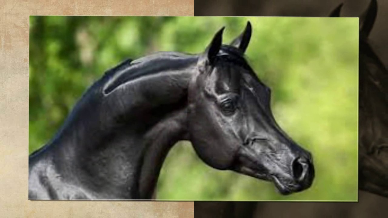 حصان اسود 49